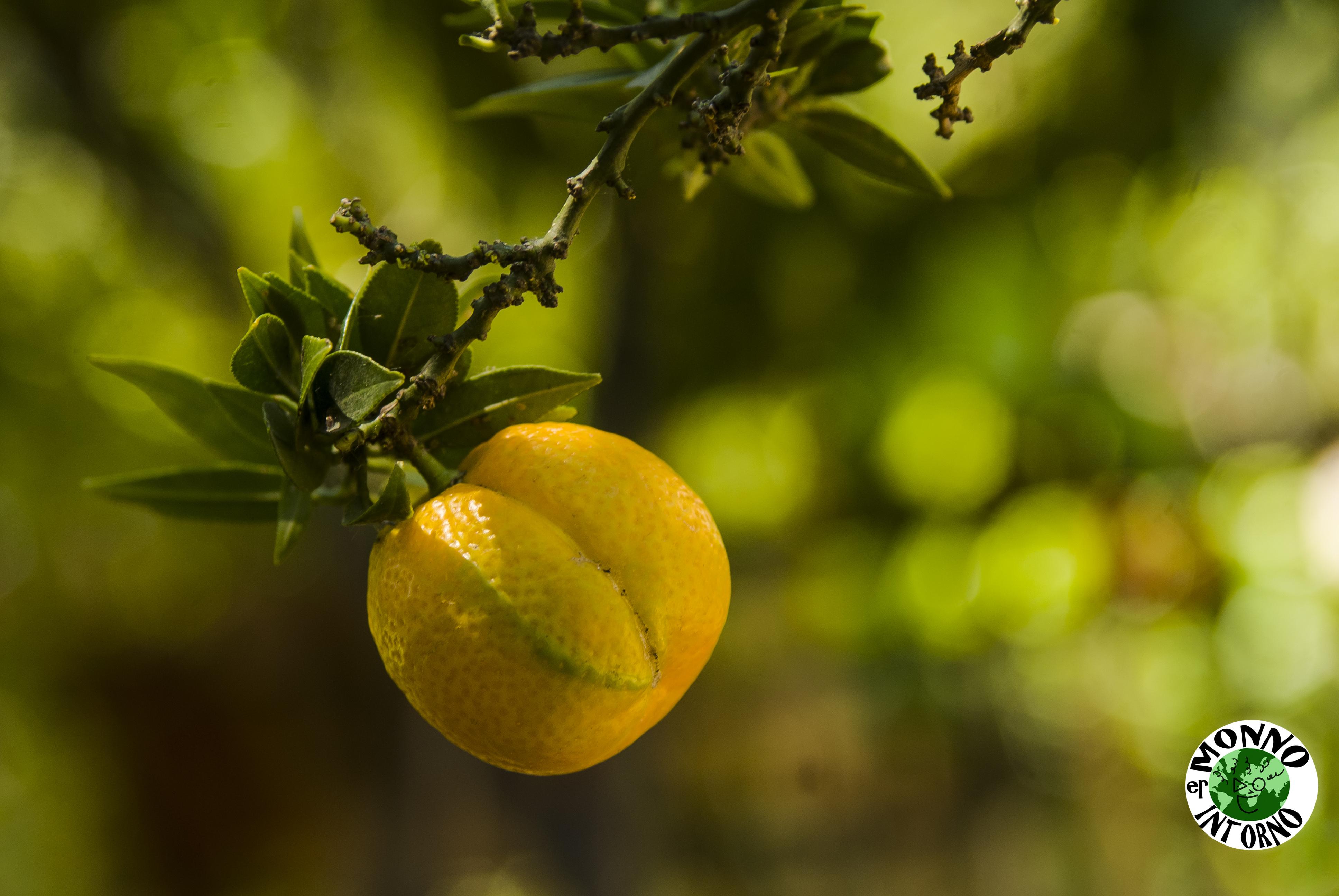 il-frutto-del-Citrus-myrtifolia-il-chinotto-e-i-suoi-fratelli-Er-Monno-intorno