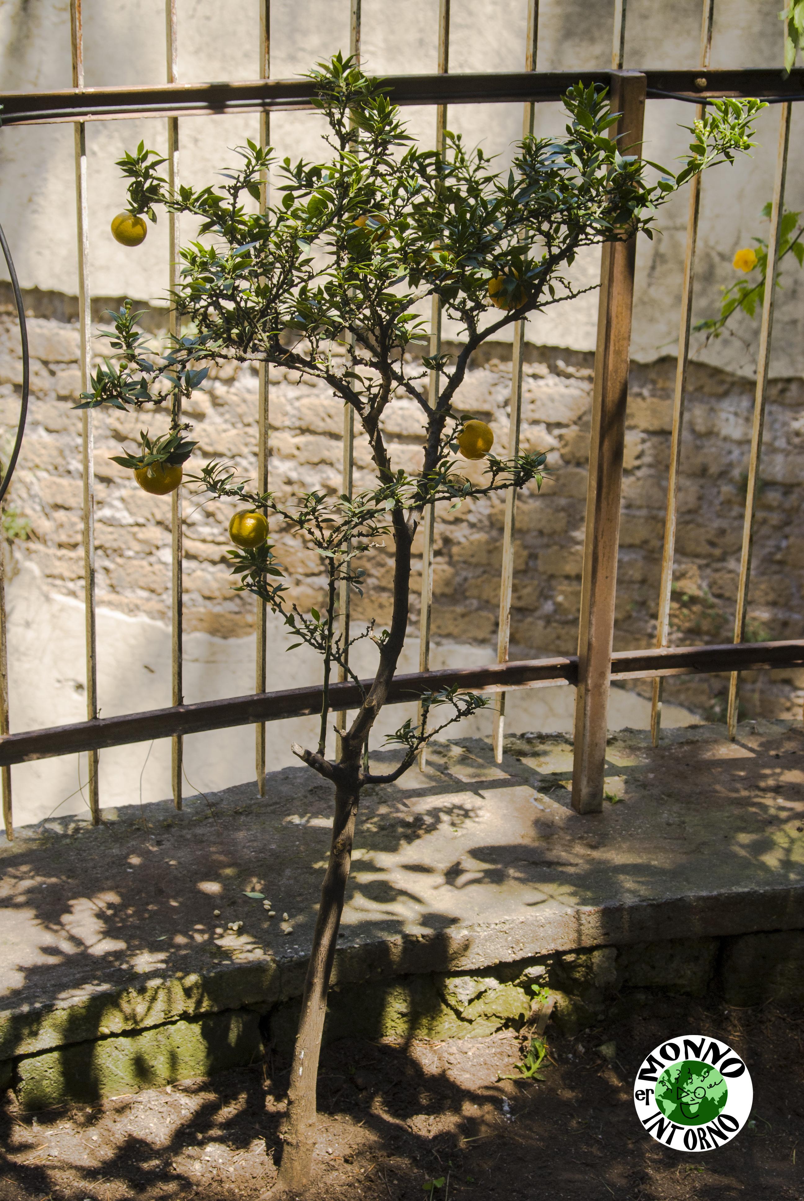albero-del-Citrus-myrtifolia-il-chinotto-e-i-suoi-fratelli-Er-Monno-intorno